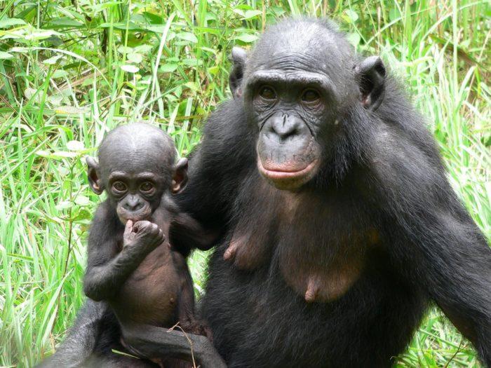 Размножение шимпанзе