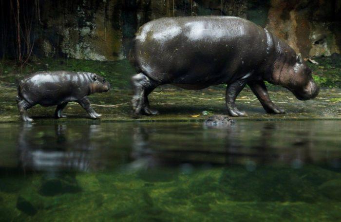 Размножение карликового бегемота