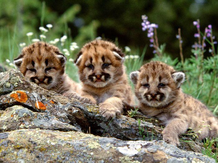 Размножение андской кошки