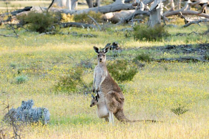 Размножение большого серого кенгуру