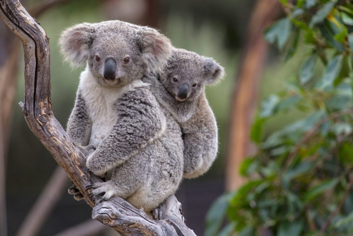 Размножение коалы