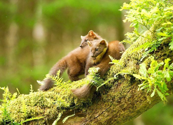 Размножение лесной куницы
