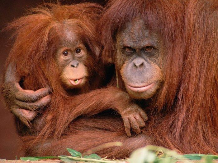 Размножение орангутана