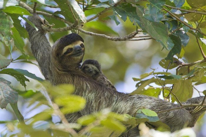 Размножение ленивца трехпалого