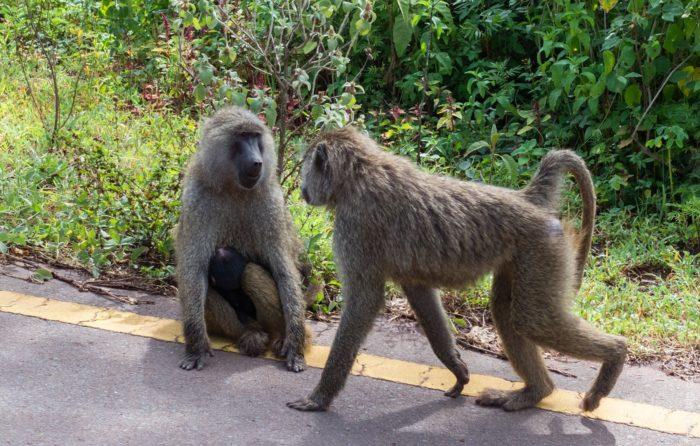 Самец и самка бабуина: основные отличия