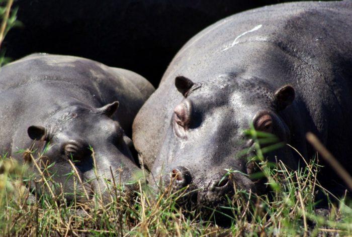 Самец и самка бегемота: основные отличия
