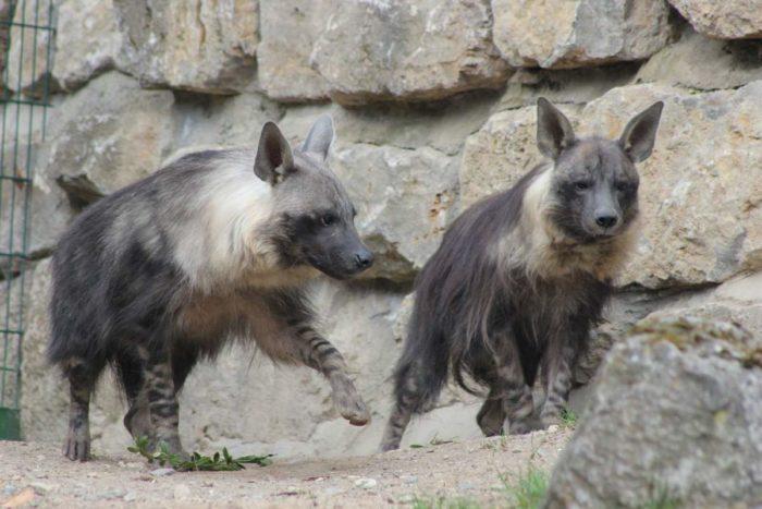 Самец и самка бурой гиены: основные отличия