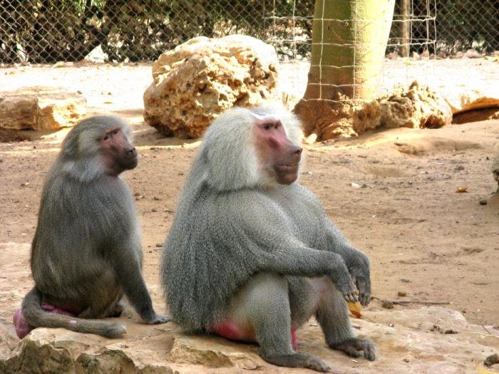 Самец и самка гамадрила: основные отличия