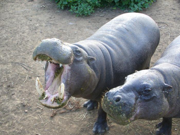 Самец и самка карликового бегемота: основные отличия