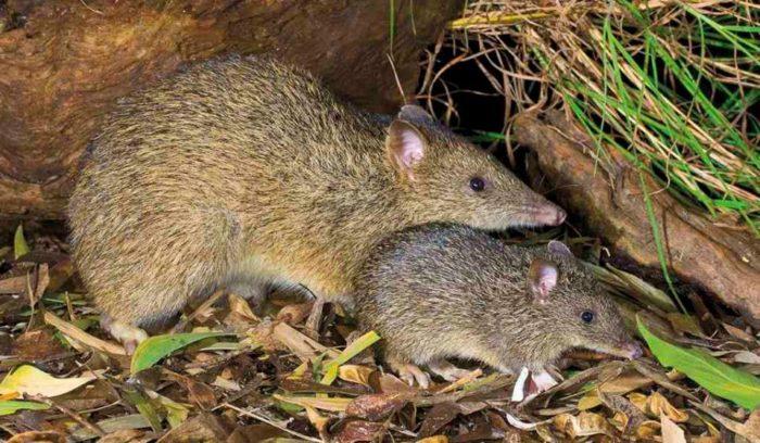 Самец и самка коротконосого бандикута: основные отличия