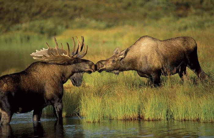 Самец и самка лося: основные отличия