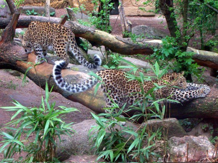 Самец и самка переднеазиатского леопарда: основные отличия