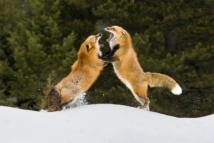 Самец и самка рыжей лисицы: основные отличия