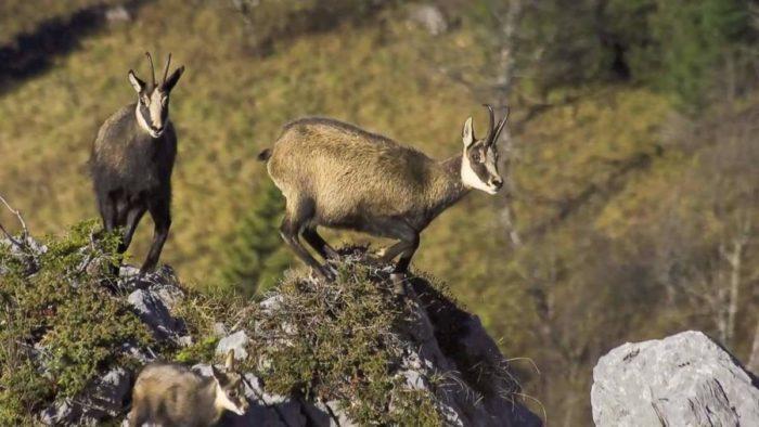 Самец и самка серны: основные отличия