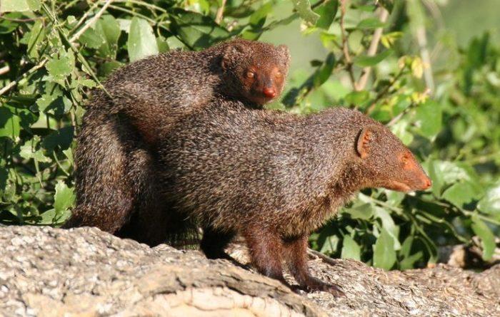 Самец и самка водяного мангуста: основные отличия