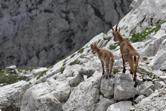 Самец и самка альпийского горного козла: основные отличия
