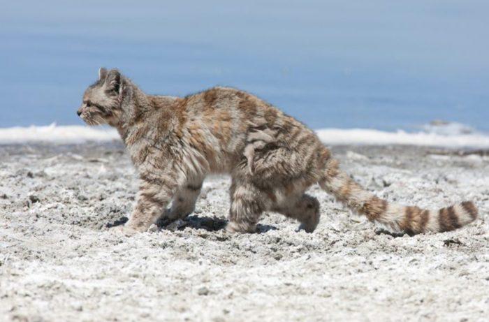Самец и самка андской кошки: основные отличия