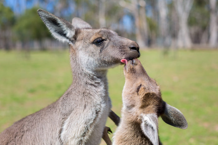 Самец и самка большого серого кенгуру: основные отличия