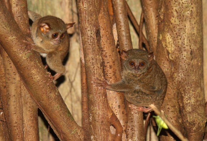 Самец и самка долгопята: основные отличия