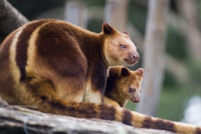 Самец и самка древесного кенгуру: основные отличия