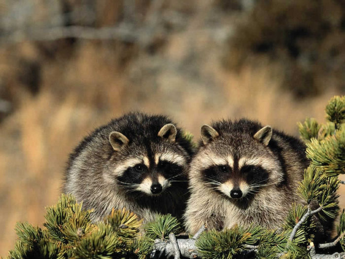 Самец и самка енота полоскуна: основные отличия