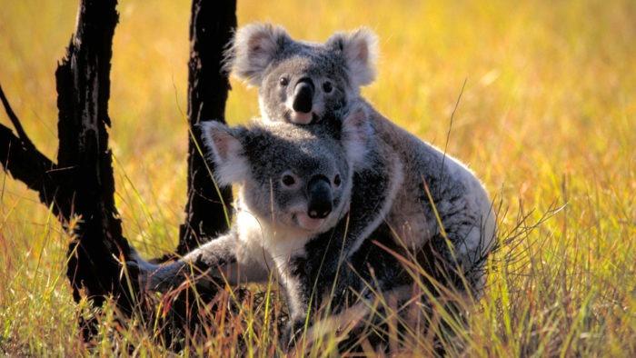 Самец и самка коалы: основные отличия