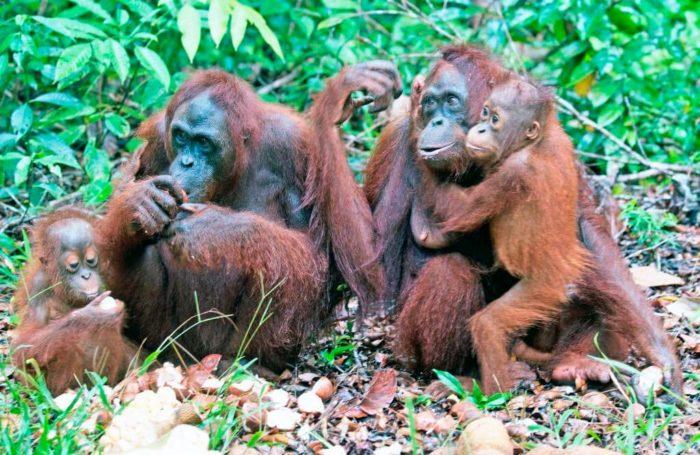 Самец и самка орангутана: основные отличия