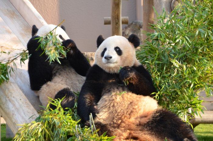 Самец и самка панды: основные отличия