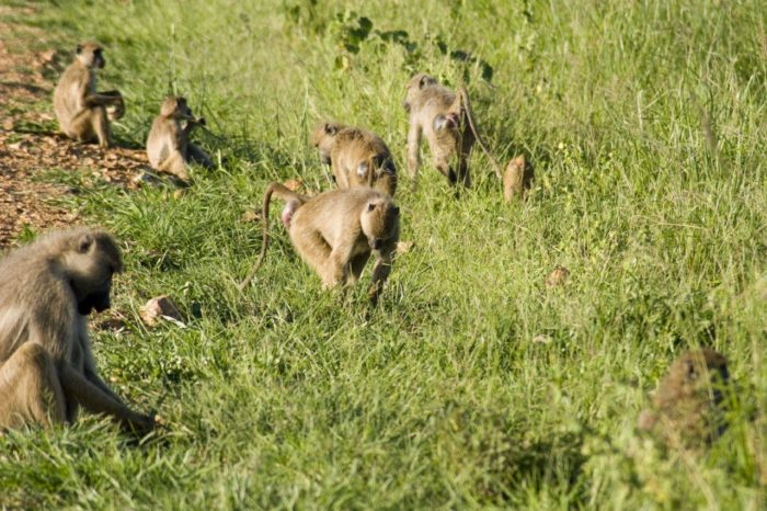 Распространенные виды бабуина