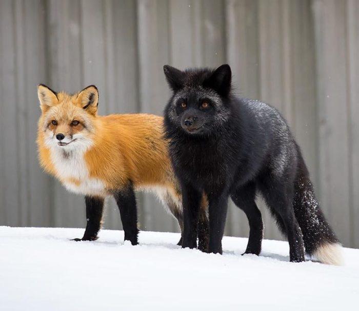 Распространенные виды рыжей лисицы