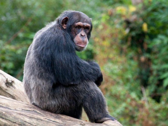 Западный шимпанзе (Pan troglodytes verus)