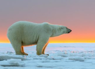 Белый медведь фото