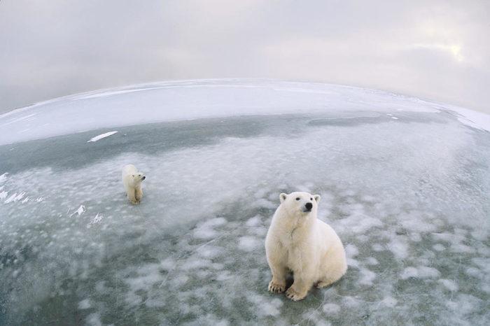 Естественные враги белого медведя