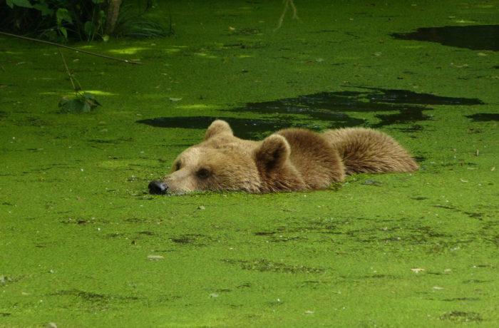Естественные враги бурого медведя