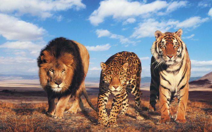 Естественные враги леопарда