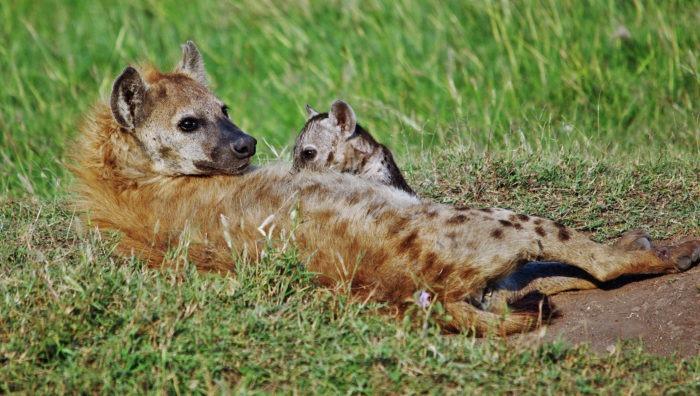 Естественные враги пятнистой гиены