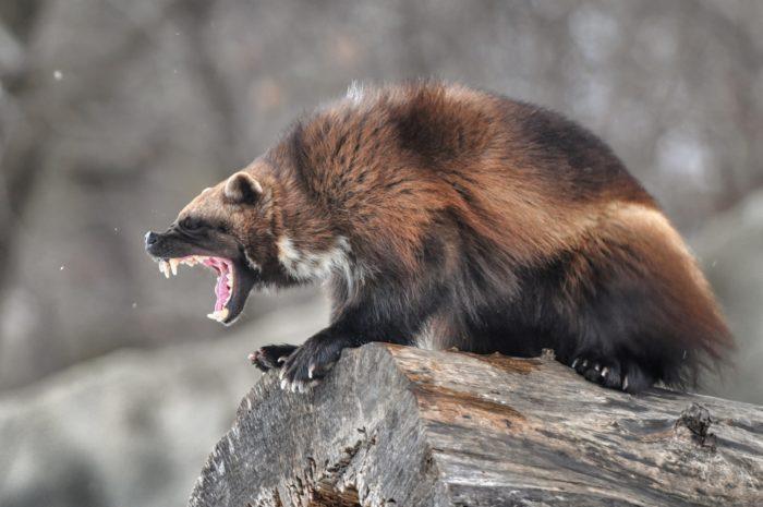 Естественные враги рыси обыкновенной