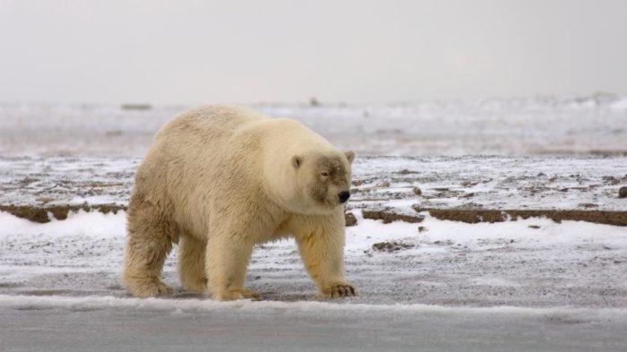 Интересные факты о белом медведе, полярный гризли