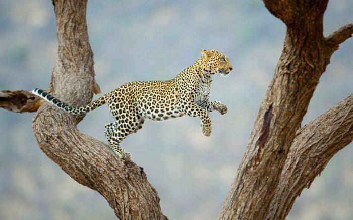 Интересные факты о леопарде