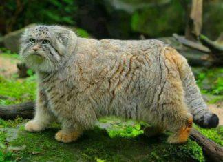 Манул, палассов кот фото