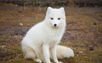 Медновский голубой песец, полярная лиса фото