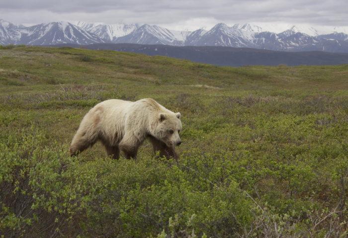 Описание бурого медведя