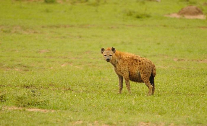 Описание пятнистой гиены