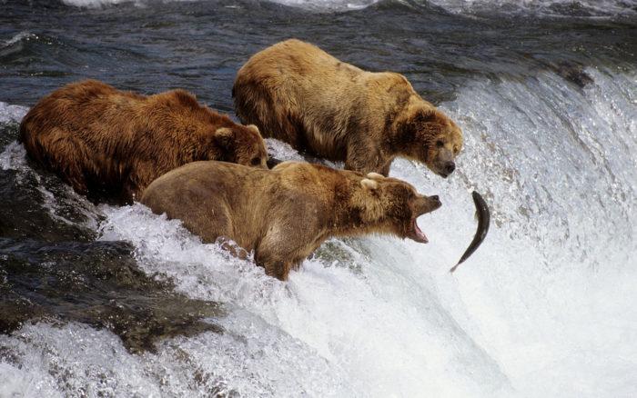 Особенности питания бурого медведя