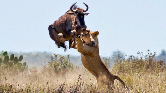 Особенности питания льва