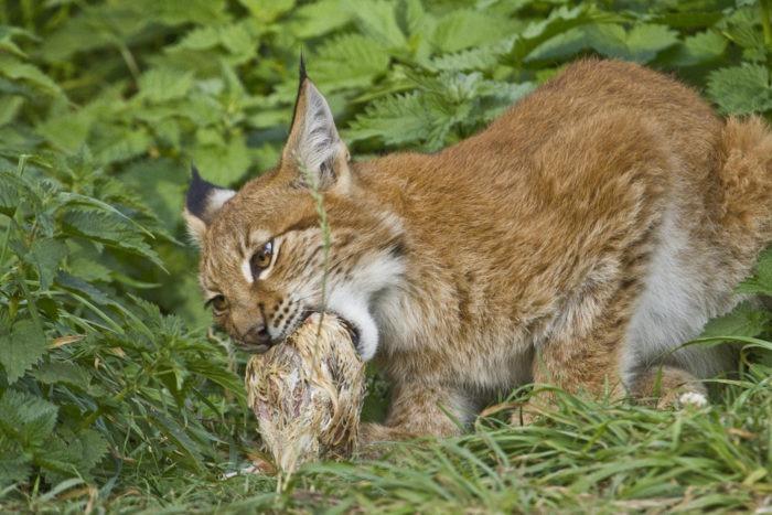 Особенности питания рыси обыкновенной