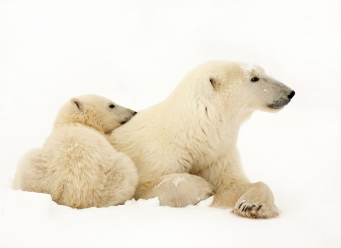 Размножение белого медведя