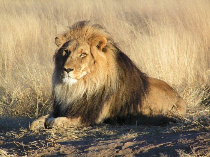 Североконголезский лев (Panthera leo azandica)