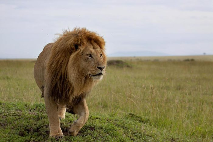 Юго-западный африканский, или катангский лев (Panthera leo bleyenberghi)