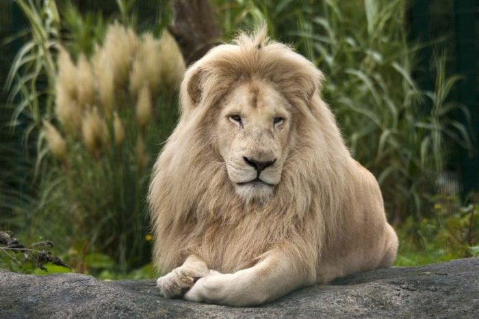 Юго-восточный африканский или трансваальский лев (Panthera leo krugeri)